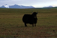 Wilder Yak Wildes China