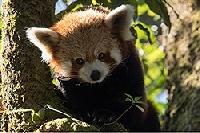 Der kleine Panda verborgen im Himalaya
